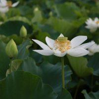 lotus-4312142_1920